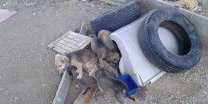 Βοηθήστε να σωθούν 9 κουταβάκια στο Μενίδι